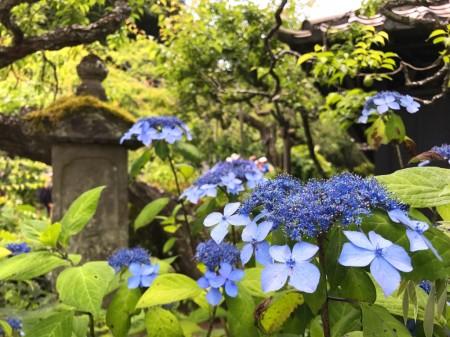 鎌倉 東慶寺のアジサイ