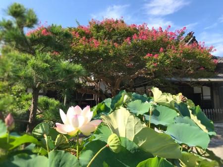 鎌倉 本覚寺 ハスとサルスベリ