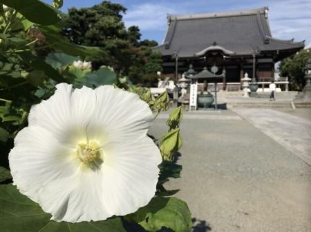 鎌倉 本覚寺 百日紅