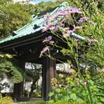 鎌倉 海蔵寺の鐘楼とシオン