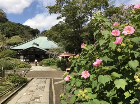 鎌倉 海蔵寺のフヨウと本堂