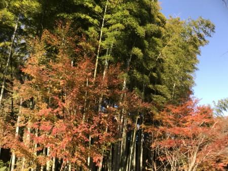 明月院の紅葉と竹林