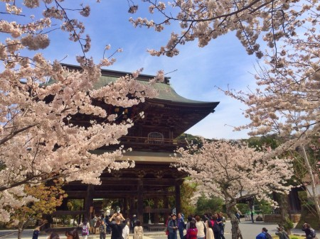建長寺の三門と桜