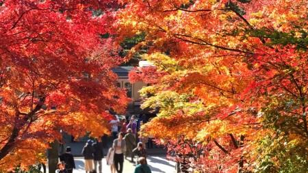 鎌倉 円覚寺 総門の紅葉と横須賀線